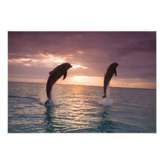 Bottlenose Dolphins Tursiops truncatus) 29 Photo Print