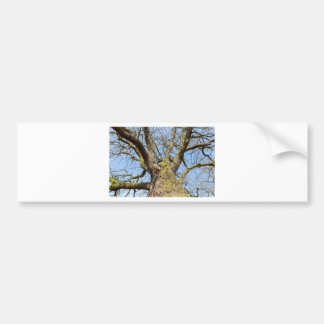 Bottom view oak tree without leaves in winter bumper sticker