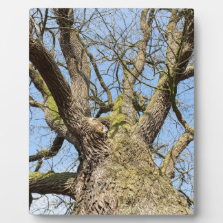Bottom view oak tree without leaves in winter plaque