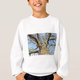 Bottom view oak tree without leaves in winter sweatshirt