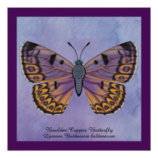 Boulder Copper Butterfly Poster