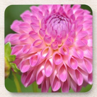Bountiful Pink Dahlia and Bud Poster Coaster