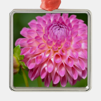 Bountiful Pink Dahlia and Bud Poster Metal Ornament
