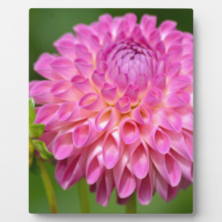Bountiful Pink Dahlia and Bud Poster Plaque