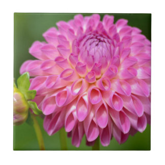 Bountiful Pink Dahlia and Bud Poster Tile