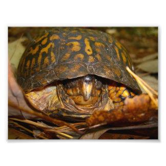Box Turtle Photo Print