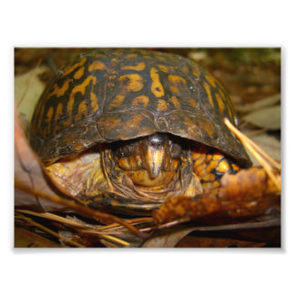 Box Turtle Photograph