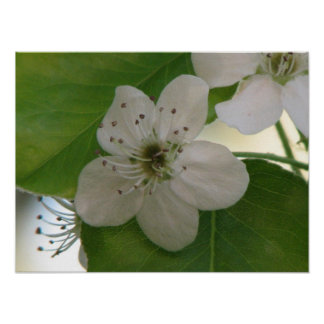Bradford Pear Bloom Poster