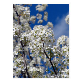 Bradford Pear Blooms Postcard