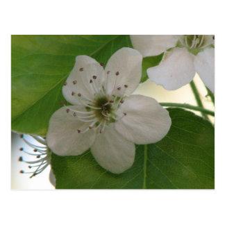 Bradford Pear Tree Bloom Postcard