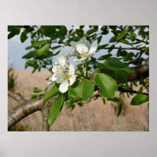 Bradford Pear tree - Poster