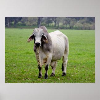 Brahman (aka. Brahma) Bull in Field Poster