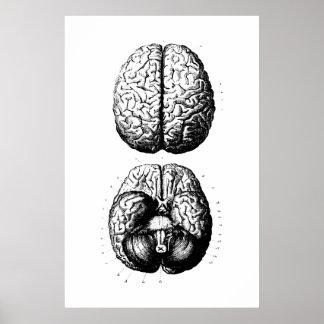 Brain Anatomy Illustration Poster