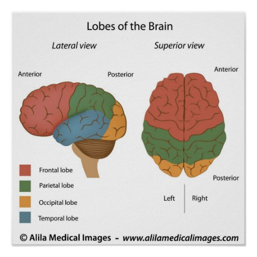 Brain lobes, labeled diagram. posters