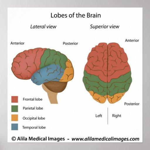 Brain lobes, labelled diagram. | Zazzle