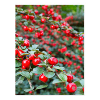 Branches with ripe red cotoneaster berries postcard
