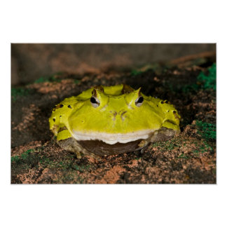 Brazilian Horn Frog, Ceratophrys cornuta, 2 Poster