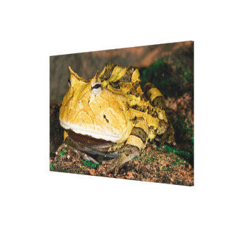Brazilian Horn Frog, Ceratophrys cornuta, 3 Canvas Print