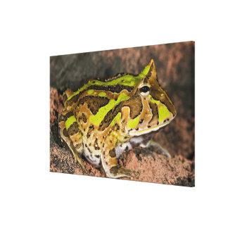 Brazilian Horn Frog, Ceratophrys cornuta, Native Canvas Print