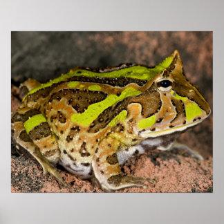 Brazilian Horn Frog, Ceratophrys cornuta, Native Print