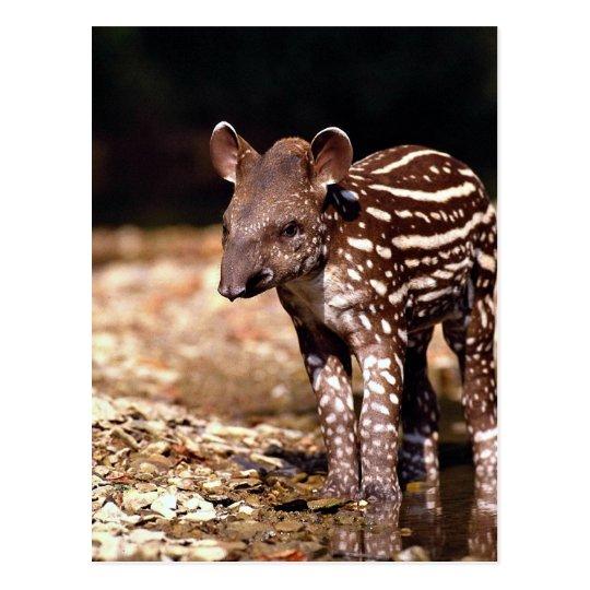 Brazilian Tapir, young calf beside river Postcard