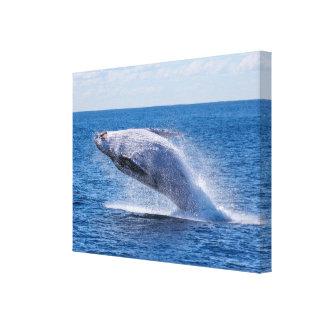 Breaching Humpback Whale Canvas Print