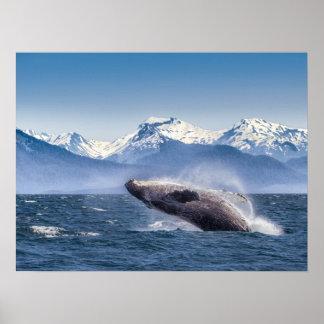 Breaching Humpback Whale In Alaska Poster