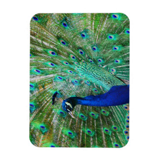 Breathtaking Peacock Magnet