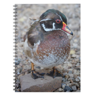 BRIDAL DUCK - WOOD DUCK - photo Jean Louis Glineur Notebook