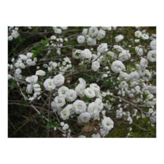 Bridal Wreath Blooms Poster
