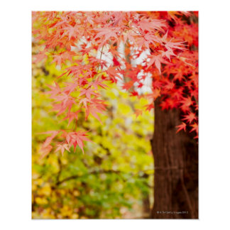 Bright colors of Japanese maple tree in autumn Poster