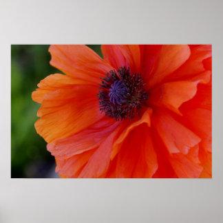 Bright Orange Poppy Poster