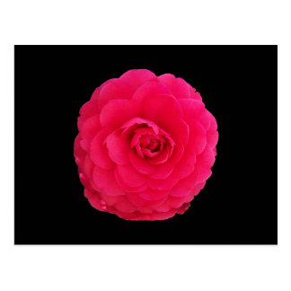 Bright Pink Camellia Postcard