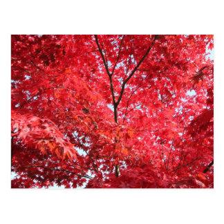 Bright Red Japanese Maple Tree Postcard