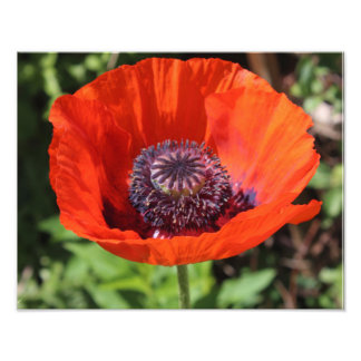 Bright Red Poppy Photo