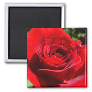 Bright Red Rose Flower Beautiful Floral Magnet