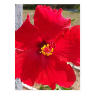 bright red tropical hibiscus flower postcard
