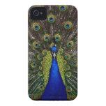 Bright regal peacock photo Blackberry case cover