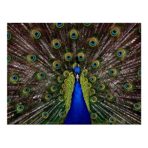 Bright regal peacock photo post cards