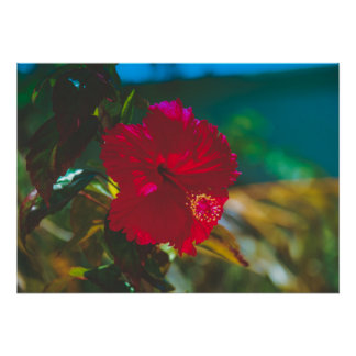 Bright Vibrant Red Tropical Hibiscus Poster