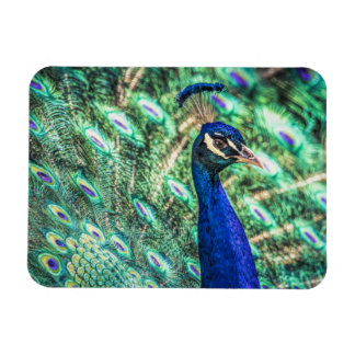 Brilliance in Blue &Green Peacock Magnet