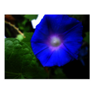 Brilliant Blue Morning Glory Photograph Postcard