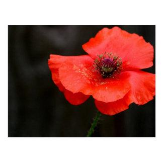 Brilliant Red Poppy Postcard