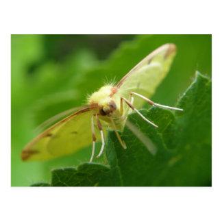Brimstone Moth Postcard