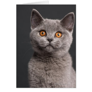 British Shorthair kitten (3 months old) Card