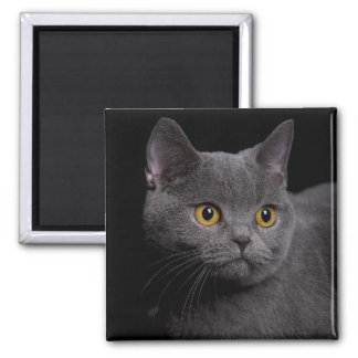 British Shorthair Magnet