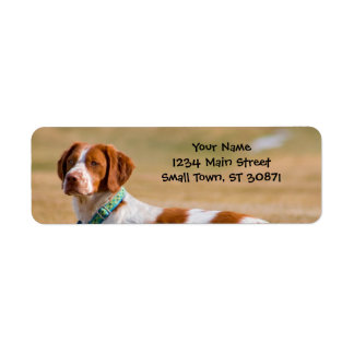 Brittany Spaniel Dog Beautiful