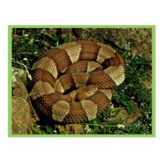 Broad-banded copperhead postcard