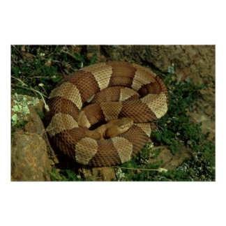 broad-banded copperhead poster print