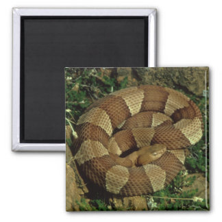 broad-banded copperhead snake fridge magnet